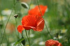 Flor de la abeja y de la amapola Imagen de archivo