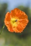 Flor de la abeja y de la amapola Fotografía de archivo libre de regalías