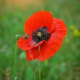 Flor de la abeja y de la amapola Foto de archivo libre de regalías