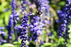 Flor de la abeja y de la lavanda Fotos de archivo