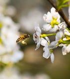 Flor de la abeja y de la pera Imágenes de archivo libres de regalías
