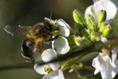 Flor de la abeja y de la primavera Fotos de archivo