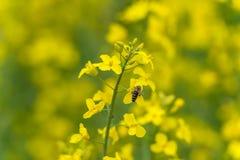 Flor de la abeja y de la rabina Fondo borroso amarillo Macro Imagenes de archivo