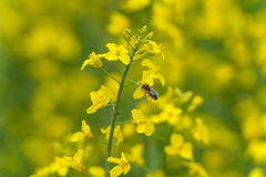 Flor de la abeja y de la rabina Fondo borroso amarillo Macro Imagen de archivo