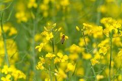 Flor de la abeja y de la rabina Macro Imagen de archivo