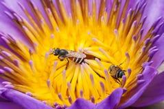 Flor de la abeja y de loto Foto de archivo