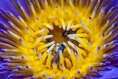 Flor de la abeja y de loto Foto de archivo libre de regalías