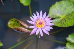 Flor de la abeja y de loto Imagenes de archivo
