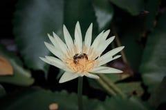 Flor de la abeja y de loto Imagen de archivo