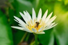 Flor de la abeja y de loto Imagen de archivo libre de regalías