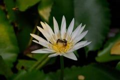 Flor de la abeja y de loto Fotos de archivo