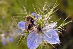 Flor de la abeja y de Nigella Fotos de archivo libres de regalías