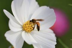 Flor de la abeja y del cosmos Fotos de archivo