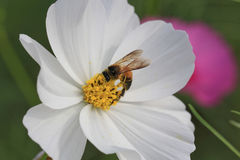 Flor de la abeja y del cosmos Fotografía de archivo libre de regalías