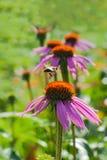 Flor de la abeja y del echinacea Imágenes de archivo libres de regalías