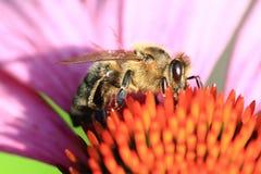 Flor de la abeja y del echinacea Fotos de archivo libres de regalías