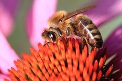 Flor de la abeja y del echinacea Imagen de archivo