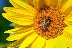 Flor de la abeja y del girasol Fotografía de archivo libre de regalías