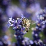 Flor de la abeja y del lavandula Fotografía de archivo libre de regalías