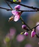 Flor de la abeja y del melocotón Fotografía de archivo