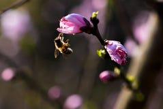 Flor de la abeja y del melocotón en sol Fotos de archivo libres de regalías