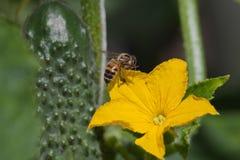 Flor de la abeja y del pepino. Imagen de archivo