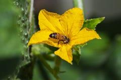 Flor de la abeja y del pepino. Foto de archivo libre de regalías