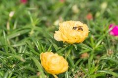 Flor de la abeja y del Purslane común Fotos de archivo