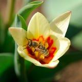 Flor de la abeja y del tulipán Imágenes de archivo libres de regalías