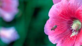 Flor de la abeja y de la malvarrosa Imágenes de archivo libres de regalías