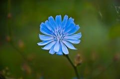 Flor de la achicoria Imagen de archivo libre de regalías