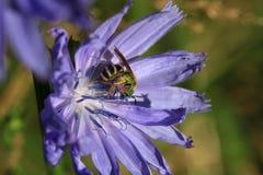 Flor de la achicoria Fotos de archivo libres de regalías