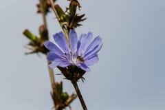Flor de la achicoria Foto de archivo libre de regalías