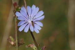 Flor de la achicoria Imagen de archivo