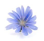 Flor de la achicoria aislada en la macro blanca del fondo Imagen de archivo