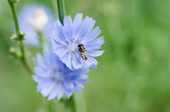 Flor de la achicoria en naturaleza Fotos de archivo