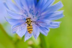 Flor de la achicoria en naturaleza Imagen de archivo libre de regalías