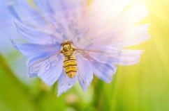 Flor de la achicoria en naturaleza Fotografía de archivo