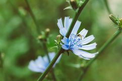 Flor de la achicoria en naturaleza Foto de archivo libre de regalías