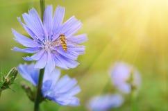 Flor de la achicoria en naturaleza Foto de archivo
