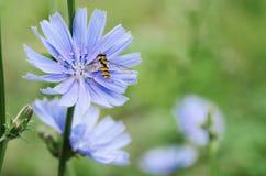 Flor de la achicoria en naturaleza Imágenes de archivo libres de regalías