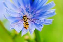 Flor de la achicoria en naturaleza Fotos de archivo libres de regalías