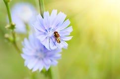 Flor de la achicoria en naturaleza Fotografía de archivo libre de regalías