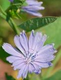 Flor de la achicoria salvaje Fotos de archivo
