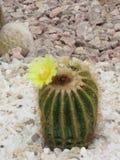 Flor de la adversidad Imagen de archivo