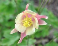 Flor de la aguileña Fotos de archivo libres de regalías