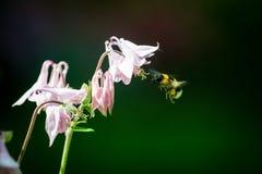 Flor de la aguileña Imagen de archivo