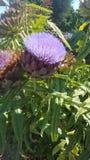 Flor de la alcachofa fotos de archivo