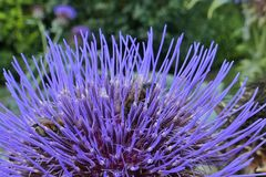 Flor de la alcachofa con la abeja dentro fotos de archivo