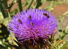 Flor de la alcachofa con las abejas y las avispas Fotografía de archivo libre de regalías